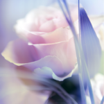 Rose Live Wallpaper 6.0 APK (Premium Cracked)